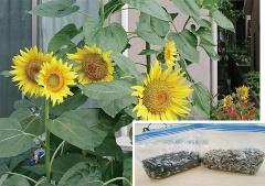■社員の自宅でもひまわりを栽培