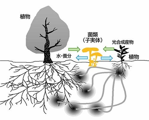 ■ 植物と真菌の共生関係のイメージ