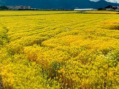 """麦の茎を乾燥、切断して作る麦わらストロー(左)。麦の種類や産地によって色合いや太さ、長さが異なる「ふぞろい」な点が特徴だ。麦わらストローの原料となる大麦畑(右)<br><span class=""""fontSizeS"""">(写真:大麦倶楽部(左)、アサヒグループホールディングス(右))</span>"""
