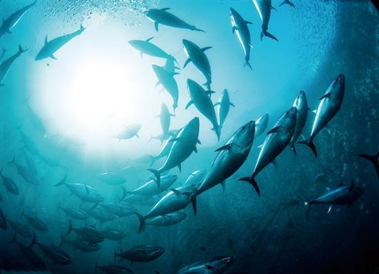 """マルハニチロは完全養殖クロマグロを量産、海の生態系保全に貢献している<br><span class=""""fontSizeS"""">(写真提供:マルハニチロ)</span>"""