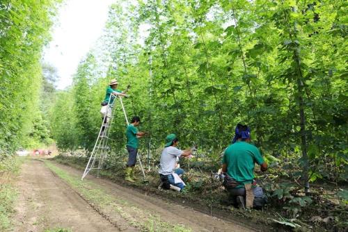 Harvesting hops in Tono, Iwate, Japan