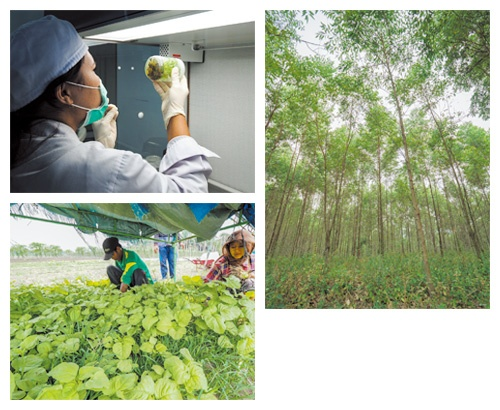 """植林するユーカリは最もよい木の細胞を細胞培養法でクローン栽培する(左上)、ユーカリは年間5m伸びるので5〜6年後に伐採する(右)、総合森林農業システムの支援を受けてアブラヤシの栽培から野菜の栽培に転換したスマトラ島の農家(左下)<span class=""""fontSizeS"""">(写真:長谷川 周人)</span>"""