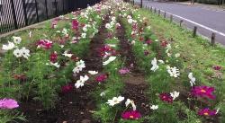 市の花「コスモス」プロジェクトの様子(写真:高井 譲)