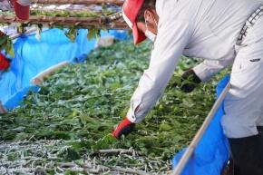 とみおか繭工房では桑の木を栽培し、その葉で蚕を育てている(写真:パーソルサンクス)