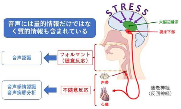 緊張すると自然と声が上ずったり、心臓がドキドキしたりする。これは脳が受けたストレスが反回神経(副交感神経系)を伝わって声帯や心臓に伝わるから。ストレス下では声帯の筋肉がこわばり、周波数が高くなる。これは自分の意思では制御できない不随意反応だ。一方、リラックスしているとき、声帯は緩み、周波数は自ずと低くなる。ミモシスでは、これらの反応を通して心の元気さを分析する(出所:徳野特任教授)