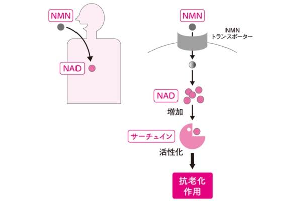 NMNが老化制御に作用する仕組み(イメージ)