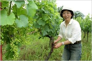 日本では珍しい「垣根栽培」のブドウ畑(メルロとカベルネ・ソービニョン)