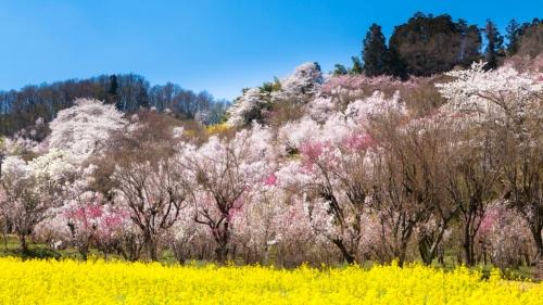 写真は福島市花見山公園(出所:PIXTA)