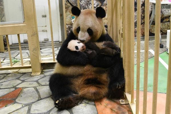 2020年11月22日に生まれた赤ちゃんパンダ。名前は2月23日まで募集していた(写真提供:アドベンチャーワールド)