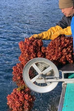 ホヤの水揚げ。ホヤは、幼少期はオタマジャクシのような形態をして海を回遊し、成体になると海底の岩などに固着し成長していく。養殖はその生態を利用して、ブイから垂らしたロープや牡蠣の殻などの仕掛けにホヤを付着させて育てる。ブドウの房のようになって成長するため、水揚げされるときは大小さまざまなサイズのホヤが一度に揚がってくる(写真提供:三陸ラボラトリ)