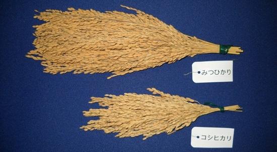 「みつひかり」の稲穂。下のコシヒカリに比べてはるかに多くの籾を付けていることがわかる。「みつひかり」はコメの世界では珍しい民間が開発した品種で、毎年交配によって種籾を生産するF1品種と呼ばれるものだ。F1品種というのは親品種の優れたところを受け継ぎ、ハイブリッド品種などと呼ばれる。収穫したものからは同じ性質のものが再生産できない。野菜やとうもろこしなどでは一般的だが、固定種が多いコメの世界ではF1品種は珍しい(写真:三井化学アグロ)