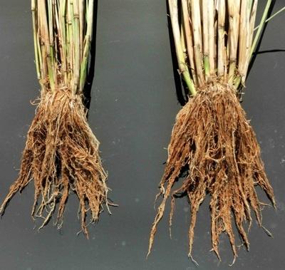 「しきゆたか」の根は大きく張り出している。「しきゆたか」も毎年交配によって種籾を生産するF1という品種だ(写真:豊田通商)
