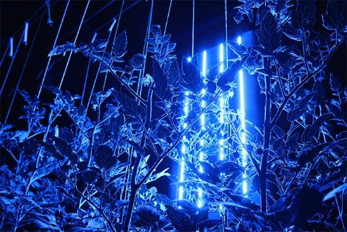 クロロフィル蛍光計測で植物の状態を測定している様子。中央の光を発光しているものがこの技術を採用した植物診断装置。井関農機が愛媛大学からライセンスを受け生産・提供している(提供:プラントデータ)