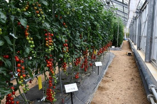 滋賀県湖南市にあるタキイ種苗の研究農場。年間30種類以上の新品種がここから生まれている(写真:編集部)