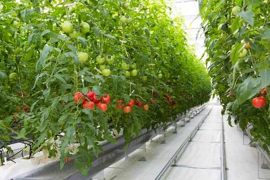 徳島県名西郡石井町にある農業法人のTファームいしいの次世代型の環境制御型ハウス。温度や湿度、CO2量などをITで自動的に管理している。延床面積約1万平方メートルは県内でも最大級(写真提供:タキイ種苗)