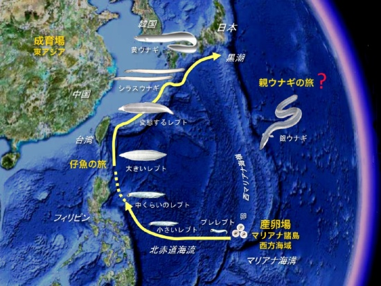 ニホンウナギの一生。ニホンウナギは、5年から15 年間、河川や河口域で生活した後、海へ下り、日本から約2000km離れたマリアナ諸島の西方海域へ帰って産卵する。孵化した仔魚はプレレプトセファルス、レプトセファルス、シラスウナギへと姿を変えながら黒潮に乗って東アジアにやってくる。そして、日本や東アジア諸国の河口や河川に住み着いて成長する。東アジアの河川からマリアナに帰っていく回遊生態については依然として不明な点が多い(図:塚本勝巳教授)