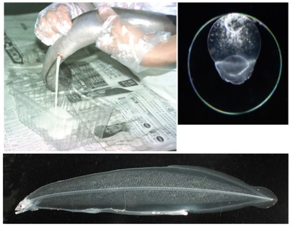 写真左上:成熟した雌のニホンウナギから採卵しているところ。右上:受精卵。下:ニホンウナギの幼生(レプトセファルス)。(いずれの写真も提供は国立研究開発法人 水産研究・教育機構)