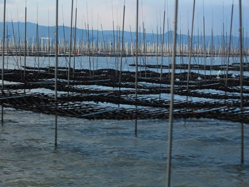 佐賀県の漁場。引き潮になり水面の上に出たノリ網(写真提供:水産研究・教育機構)