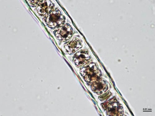 正常に発育したノリ葉状体(断面)(写真提供:水産研究・教育機構)