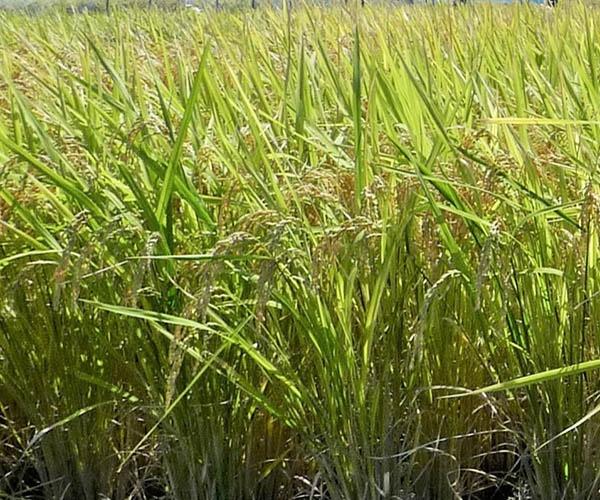 市場に出始めた「良食味多収米」 業務用を中心に、変貌する日本の米事情