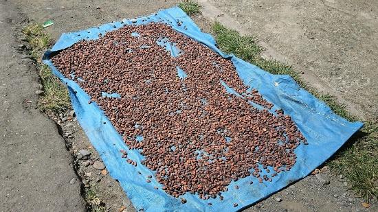 当時は地面で乾燥されているカカオ豆にたばこの吸い殻がいくつも入っていた(写真提供:フーズカカオ)