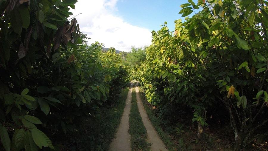 道の両脇にカカオ農園が広がるエンレカンのマレレ村(写真提供:フーズカカオ)