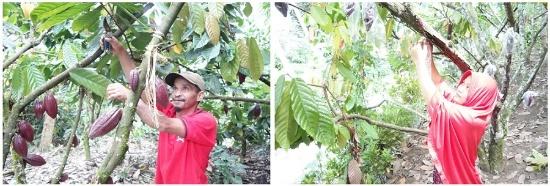 2018年、自分のカカオ農園でカカオポッドを収穫するYUNUSさん(左)。農薬を使わず害虫から保護するためのカカオポッドへの袋かけ作業(右)(写真提供:フーズカカオ)