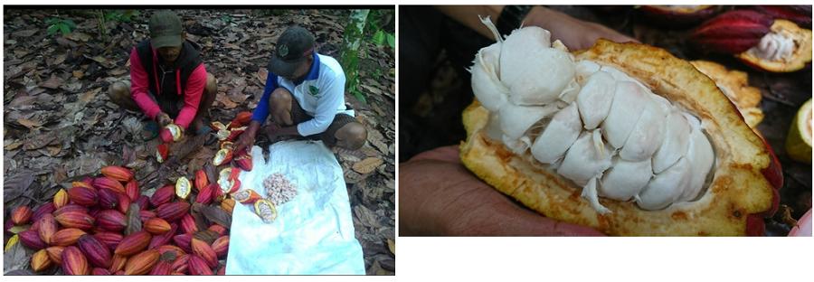 収穫したカカオポッドを開いて中のパルプの選別をしている様子(左)。カカオポッドを開くとたくさんの種子がフルーツ(パルプ)に包まれている(右)(写真提供:フーズカカオ)