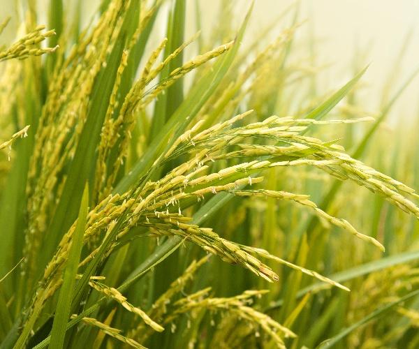 巨大胚芽米「金のいぶき」は 玄米と銀シャリの常識を変える!?