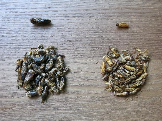 左はグリラスによるフリーズドライ加工したフタホシコオロギ。「熱風乾燥なども試したが、この方法が一番風味がよかった」と渡邉氏。右は、フィンランド製のヨーロッパイエコオロギのロースト。加工の具合もあるのか写真ではヨーロッパイエコオロギに比べフタホシがかなり大きいが、一般的には1.5倍ほどのサイズだという(写真:メレンダ千春)