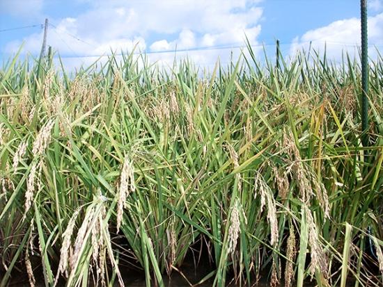 発表された多収栽培技術で育てられている水稲。10アール当たり約1.5トンという驚きの収穫量を実現した(写真提供:農研機構)