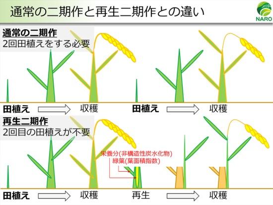 通常の二期作は田植えも収穫も2回だが、再生二期作では1回の田植えで2回収穫する。農研機構では、最初の収穫を終えた切り株に栄養分が残り、切り株から新しく再生した茎や葉がこの栄養分をうまく使って成長し、2回目の穂を実らせると考えている(資料提供:農研機構)