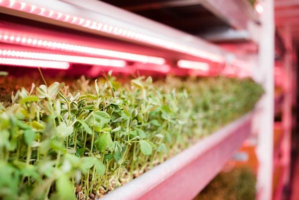 LEDを利用した栽培の様子(Growing Underground提供)