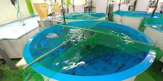 (写真1)FPDジャパンの陸上養殖用サーモンの生け簀