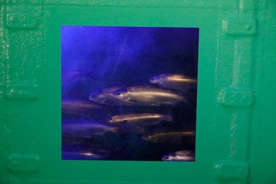 (写真4)紅サケの水槽には体を大型化するために青い光を当てている