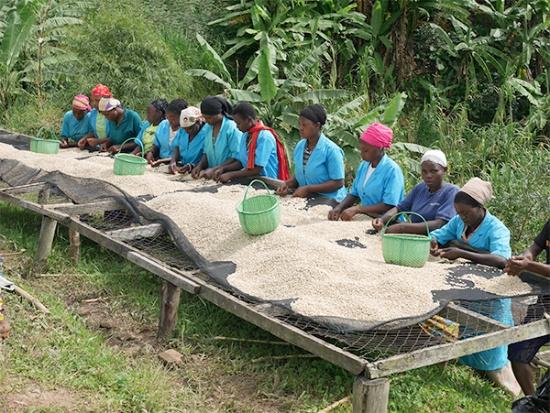 ルワンダにおけるコーヒー加工の様子(写真提供:ストーリーライン)