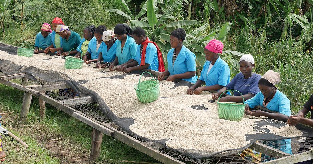デカフェコーヒーがつくる健康市場と産地の未来 スタートアップが「おいしくない」を払拭