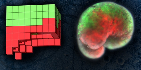 (写真2)バーモント大学で設計された生命体のデザイン(左)と、カエルの皮(緑)と心筋(赤)の細胞だけで作られたxenobot(右)(出典:Sam Kriegman、UVM)