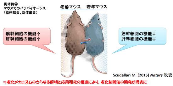 (図2)老齢マウスと若年マウスを並体結合した実験結果