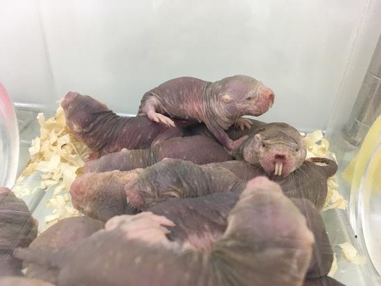 (写真1)三浦准教授の研究室で飼育されているハダカデバネズミ、現在、400匹弱を飼育する