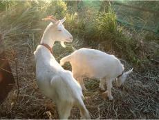 5月18日からはヤギを活用する(写真はイメージ、出所:SBエナジー)