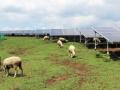 """「ヒツジの""""食欲""""は想定以上、放牧先を増やしました」、13頭を飼う阿蘇山麓のメガソーラー"""