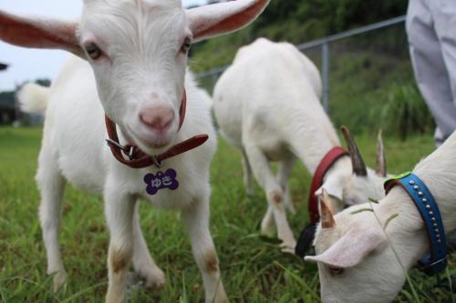 図4●親子で群れるヤギも。子ヤギはとくに愛らしい
