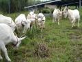 わずか1年でヤギが倍増、将来はチーズ製造も、長崎・柿泊町のメガソーラー
