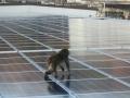 サルの群れが住みつきフン害も、関西の屋根上太陽光