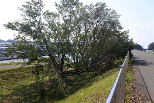 図3●山倉ダム周囲の並木が強風で折れていた