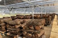 栽培する原木シイタケ