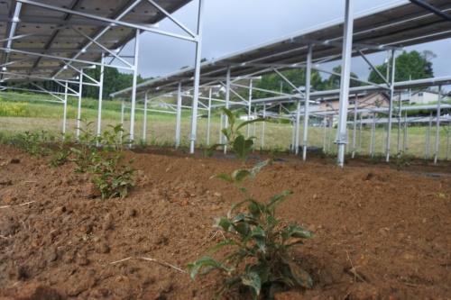 図3●太陽光パネルの下にはサカキの苗を植えた
