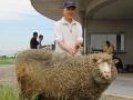 「雑草を食べきれず、ヒツジを増やしました」、明石土山のメガソーラー
