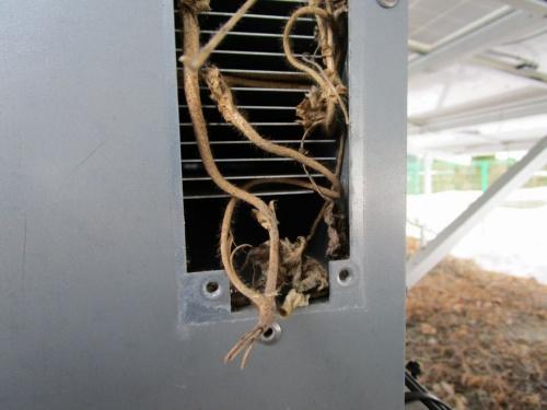 図1●ツル性植物のクズがPCS内に侵入して密集